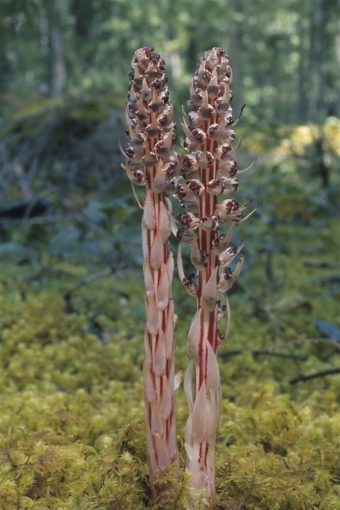Allotropa_virgata_British_Columbia.jpg
