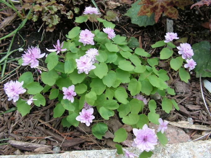 Anemonella_thalictroides_Shoafs_double.jpg