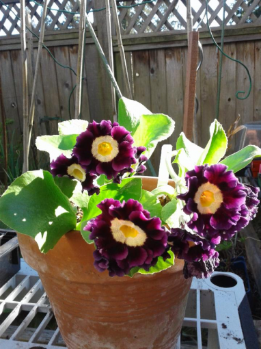 Auricula.png