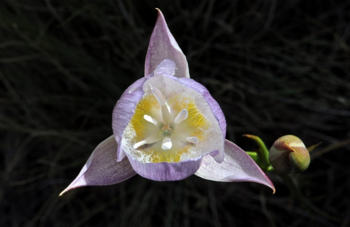 Calochortus_greenei_Oregon.jpg