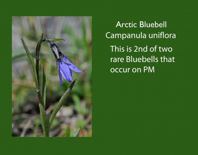 Campanulua_uniflora.jpg
