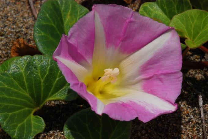 Convolvulus_soldanella_British_Columbia.jpg