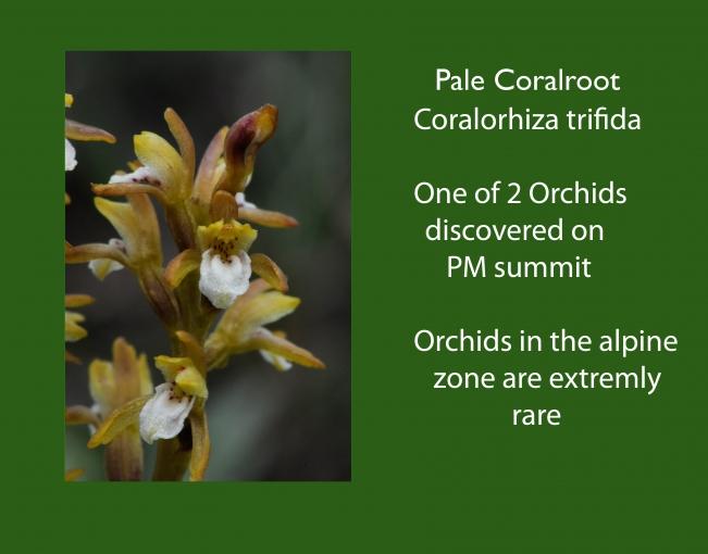 Coralorhiza_trifida.jpg