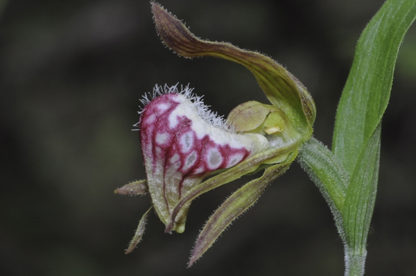 Cypripedium_arietinum_Ontario_600.jpg