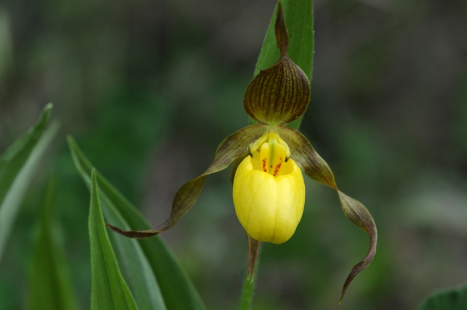 Cypripedium_parviflorum_British_Columbia.jpg