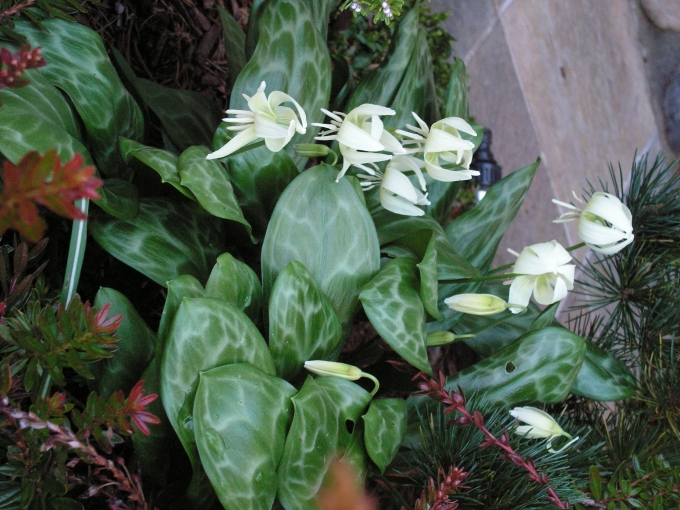 Erythronium_White_Beauty.jpg