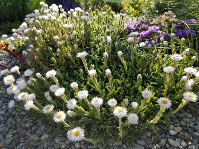 Helichrysum_marginatum_w_Edraianthus_graminifolius.jpg