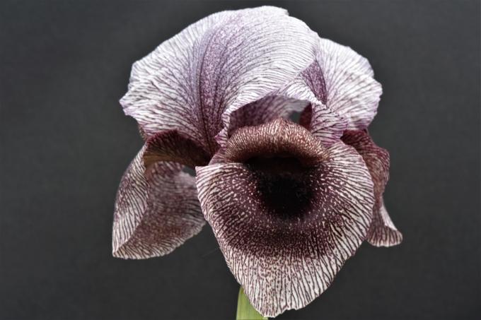 Iris2.jpg