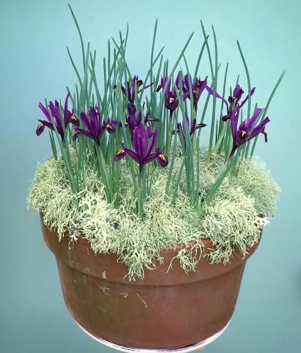 Iris_reticulata.jpeg