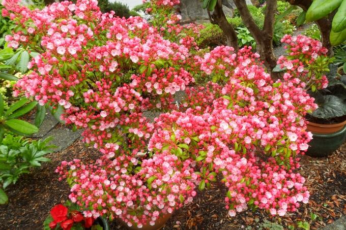 Kalmia_latifolia.jpg
