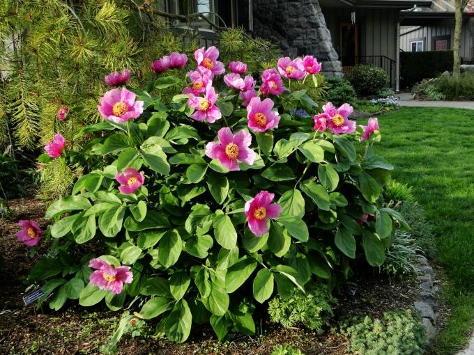 Paeonia_daurica_spp._coriifolia.jpg