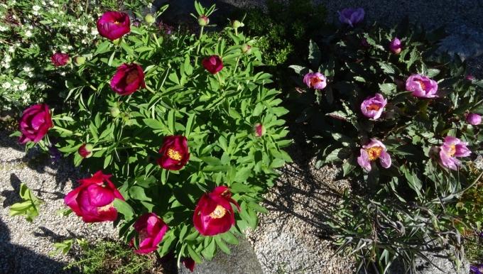 Paeonia_mascula_ssp_arietina_and_P._cambessedesii.jpg