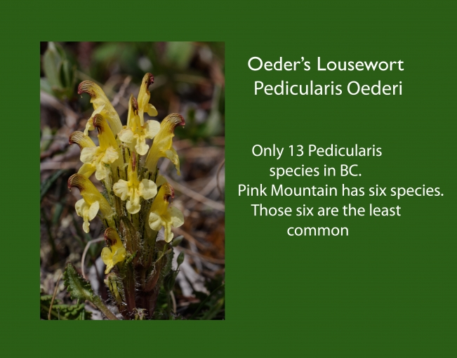 Pedicularis_oederi.jpg