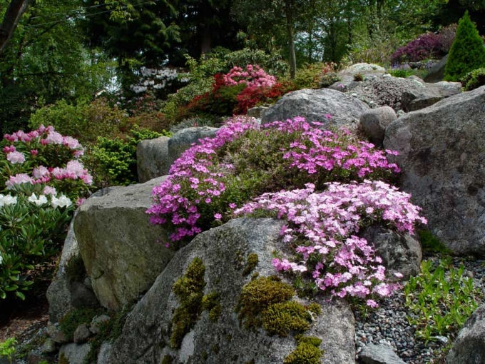 Phlox-and-rhododendrons-DS.jpg