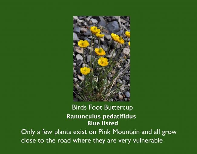 Ranunculus_pedatifidus.jpg