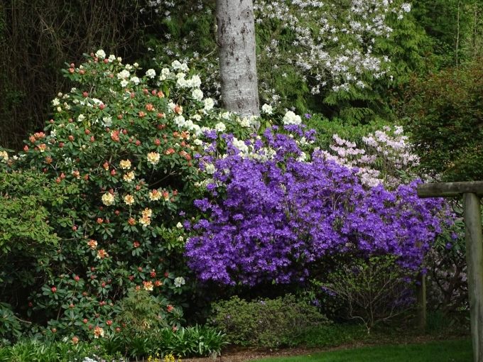 Rhododendron_Horizon_Monarch_and_augustinii_Electra.jpg