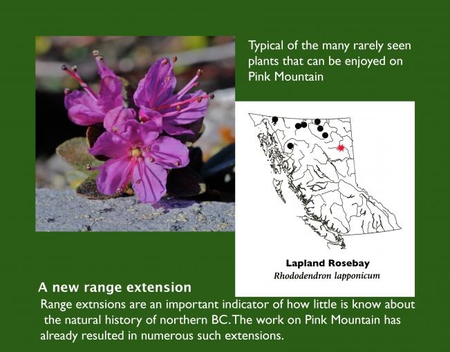 Rhododendron_lapponicum.jpg