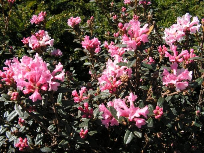 Rhododendron_primuliflorum.jpg