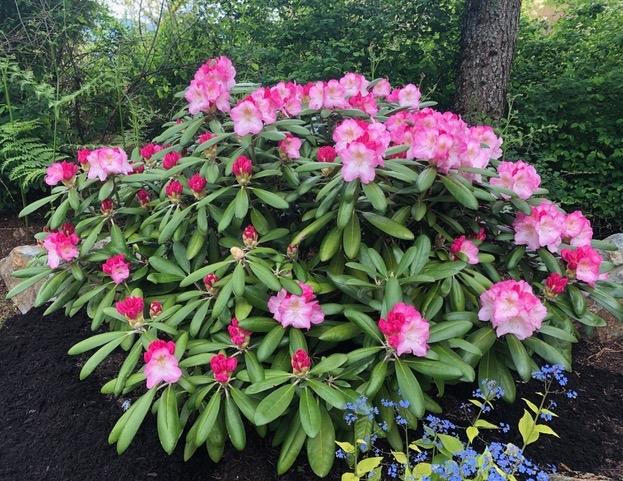 Rhododendron_yakushimanum_Ken_Janek.jpeg