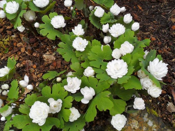 Sanguinaria_canadensis.jpg