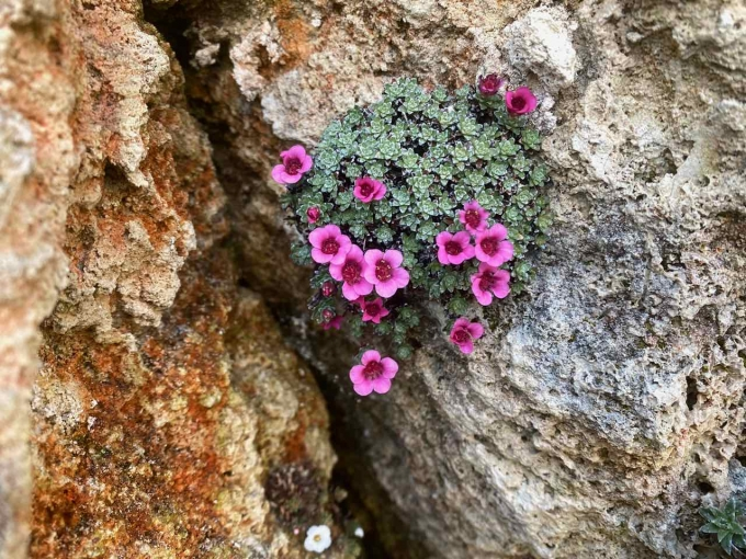Saxifraga_Your_Smile.jpg