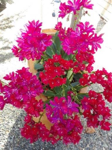 lewisia_Jubilee_hybrid_.jpg
