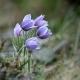Anemone_patens_ssp_multifida_Prairie_crocus_DSC7649.jpg
