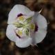 Calochortus_euricarpus_Oregon.jpg