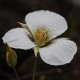 Calochortus_howellii_Oregon.jpg