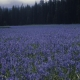 Camassia_quamash_Idaho.jpg