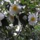 Camellia_japonica_SAM-0636.jpg