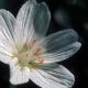 Claytonia_lanceolata_British_Columbia.jpg