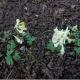 Corydalis.jpg