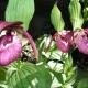 Cypripedium_Kentucky_Pink.jpg