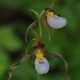 Cypripedium_montanum__British_Columbia.jpg