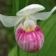 Cypripedium_reginae_Ontario.jpg