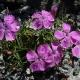 Dianthus_callizonus.jpg