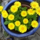 Doronicum_orientale_SAM-0516.jpg