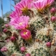 Echinocereus_coccineus_UBC.jpg