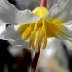 Erythronium citrinum.jpg