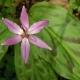 Erythronium_revolutum_Britisdh Columbia_top.jpg