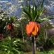 Fritillaria_imperialis_and_Magnolia_denudata_(1).jpg