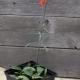 Fritillaria_recurva_Grown_from_seed.jpg