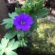 Geranium_pyrenaicum_'Bill_Wallis'.jpeg