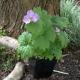 Glaucidium_palmata.jpg