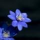 Hepatica_nobilis__DSC1747.jpg