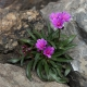 Lewisia_BR_longipetala_little_rasperry_Jun_4_2020_DSC0048.jpg