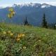 Lilium-columbianum.jpg