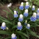 Muscari armenicum_peppermint.jpg