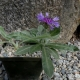 P1210705,_Centaurea_achtarovii.jpg